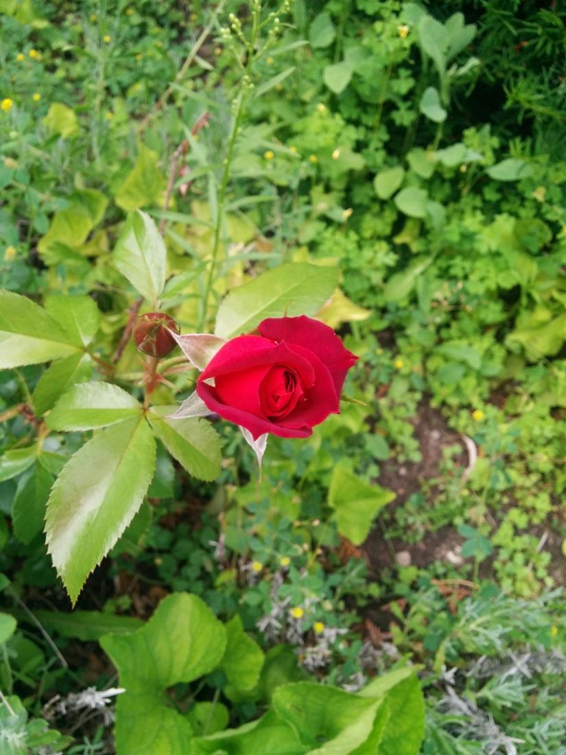 Rose de juillet