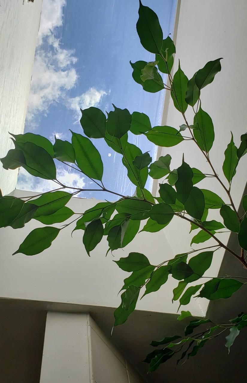 FicusBenjamina